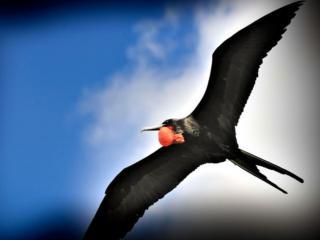 обои Полёт птицы с красным зобом фото