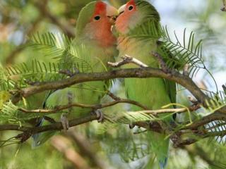 обои Два зелёных попугайчика фото