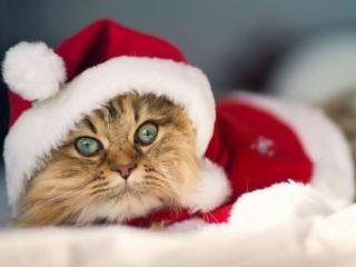 обои Кот Санта фото