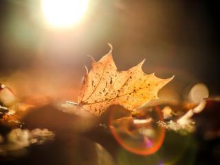 обои Осенний лист в свечении золотого солнца фото