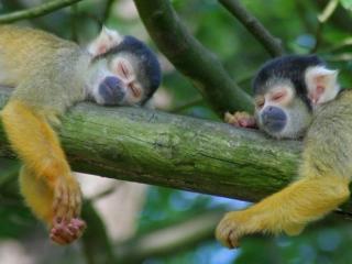 обои Две спящих обезьянки фото