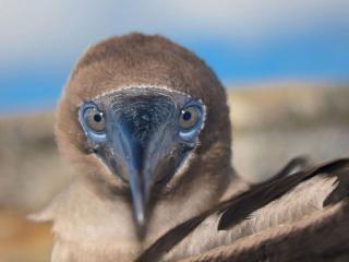 обои Красноногая олуша на Галапагосских островах фото