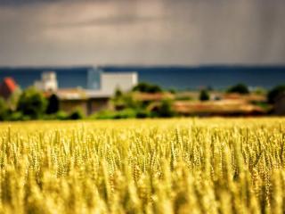 обои Золотое поле пшеницы близ поселения фото