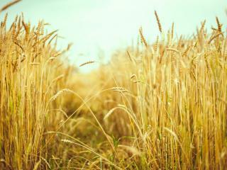обои для рабочего стола: Колосья пшеницы под бирюзовым небом,   макро