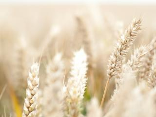 обои Нежно-кремовые колосья пшеницы,   макро фото