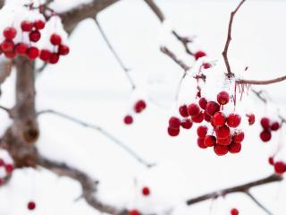 обои Первый снег на гроздьях рябины,   зима фото