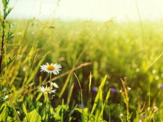 обои Ромашки в степи под теплым летним солнцем фото