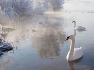 обои Лебеди зимы фото