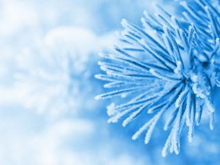 обои Еловая веточка в снегу,   в голубых тонах фото