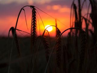 обои для рабочего стола: Колоски пшеницы,   яркий закат,   макро