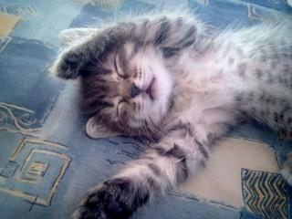 обои Спящий котёнок фото