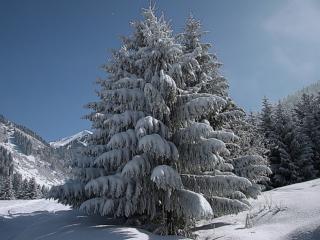 обои Пушистые ели в снегу фото