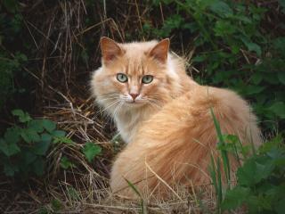 обои Рыжий кот в зеленых зарослях фото