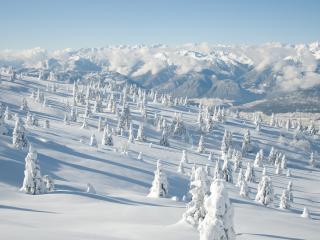 обои Снежный склон с заснеженными елями фото