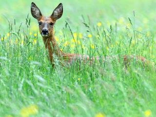 обои Молодой олень в высокой траве фото