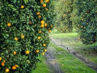 обои Мандариновый сад фото