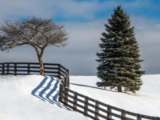обои Два дерева разделенные изгородью фото