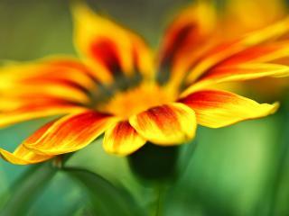 обои Солнечный оранжевый цветок,   размытость,   макро фото