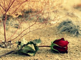 обои Увядшая роза на весенней земле фото