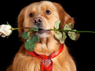 обои Пес с белой розой в зубах фото