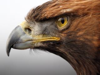 обои Грозный взгляд орла фото