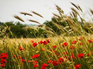 обои Ярко-алые маки в поле,   под пасмурным небом фото