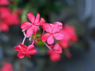 обои Ярко-розовые цветки на размытом фоне фото