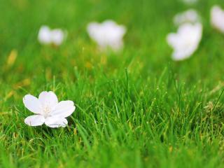 обои Белые цветы на свежей зеленой траве фото
