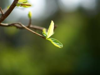 обои Первые свежие листья весны фото