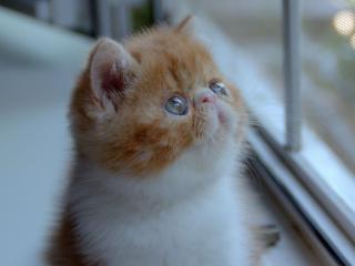 обои Бело-рыжий котёнок фото