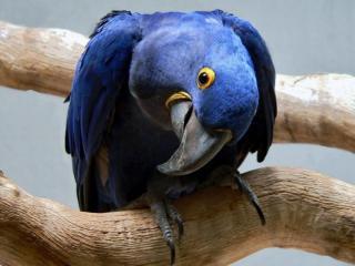 обои Синий попугай фото