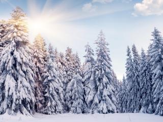 обои Стройные ели занесенные снегом фото