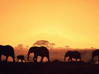 обои Стадо слонов на закате фото