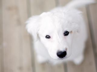 обои Белый пес с черными глазами фото