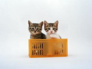 обои Пара котят в пластиковом ящике фото