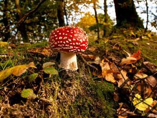 обои Осенний красавец мухомор фото