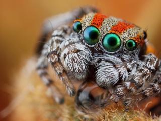 обои Глазастый мохнатый паук фото