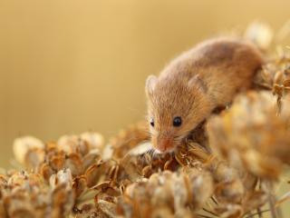 обои Серая полевая мышь фото