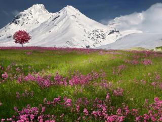 обои для рабочего стола: Цветущая поляна у снежных гор