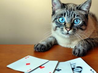 обои Голубоглазый кот шуллер фото