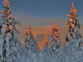 обои Золотые верхушки снежных елей фото