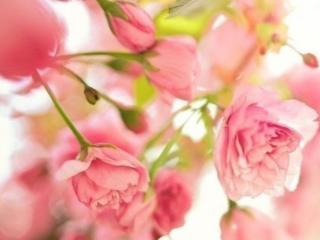 обои для рабочего стола: Розовая весна