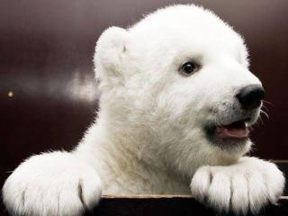 обои для рабочего стола: Белый медвежонок