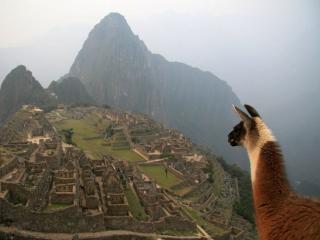 обои Лама смотрит на древний город в Перу фото