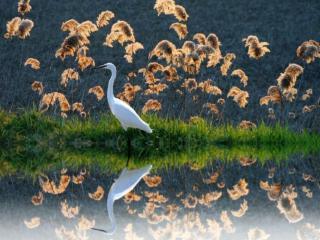 обои Цапля на озере фото