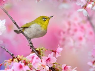 обои Желтоголовая птичка на цветущей ветке фото