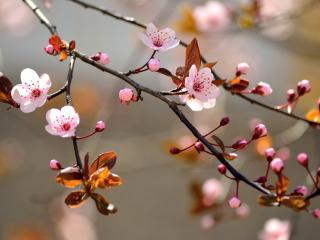 обои для рабочего стола: Первые цветы вишни