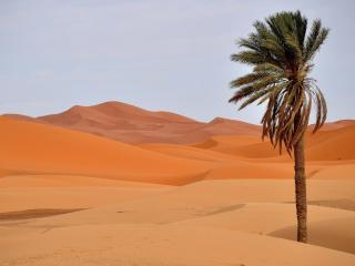 обои для рабочего стола: Одинокая пальма в жарких песках