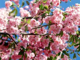 обои для рабочего стола: Розово-белый цвет весны