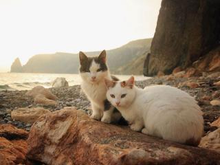 обои Крымские кошечки фото